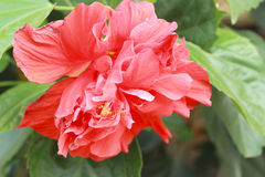 Hibiscus flowers - orange flower in the nature Royalty Free Stock Photos