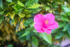 Hibiscus flowers Royalty Free Stock Images