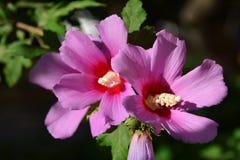 Hibiscus flowers Stock Photography