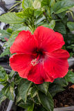 Hibiscus flowers Stock Photos