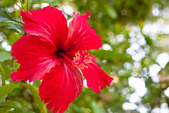 Hibiscus flowers. A red hibiscus flowers on green background with Pentagonal bokeh Stock Image