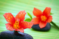 Hibiscus flowers and spa stone Royalty Free Stock Photography