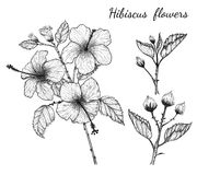 Hibiscus flowers. Vector from hand drawing Stock Photo