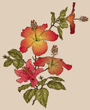 Hibiscus flowers. Vector illustration of Hibiscus flowers Stock Photography