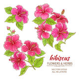 Hibiscus flowers vector set. On white background Royalty Free Stock Photo
