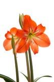 Hibiscus flowers Stock Photos