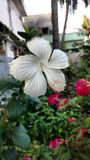 Hibiscus flowers, white hibiscus, rose mallow Royalty Free Stock Photo
