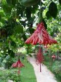 Hibiscus franjado - Coral Hibiscus Imagens de Stock