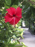 Hibiscus Fukugi Namiki. Of Bise Okinawa Motobu Stock Photo