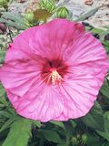 Hibiscus full front Royalty Free Stock Photography