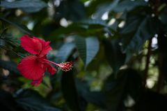 Beautiful hibiscus flower in dark background. Hibiscus[2][3] is a genus of flowering plants in the mallow family, Malvaceae. The genus is quite large, comprising Stock Photography