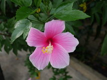 Hibiscus. Is a genus of flowering plants in the mallow family, Malvaceae. The genus is quite large, comprising several hundred species that are native to warm Stock Photos
