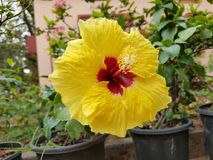 Yellow Hibiscus flower. Hibiscus is a genus of flowering plants in the mallow family, Malvaceae. The genus is quite large, comprising several hundred species Royalty Free Stock Images