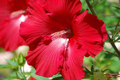 Hibiscus. Is a genus of flowering plants in the mallow family, Malvaceae. It is quite large, containing several hundred species that are native to warm Stock Photo