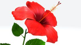 Hibiscus. Is a genus of flowering plants in the mallow family, Malvaceae. It is quite large, containing several hundred species that are native to warm royalty free stock images