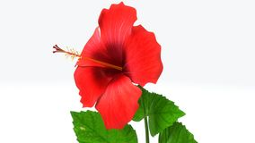Hibiscus. Is a genus of flowering plants in the mallow family, Malvaceae. It is quite large, containing several hundred species that are native to warm stock photos