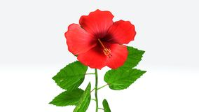 Hibiscus. Is a genus of flowering plants in the mallow family, Malvaceae. It is quite large, containing several hundred species that are native to warm stock image