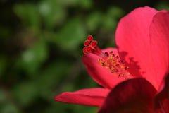 Hibiscus.  Stock Photography