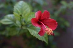 Hibiscus.  Stock Photo