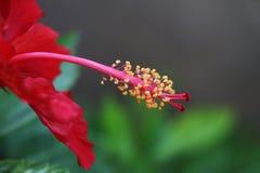 Hibiscus.  Stock Photos