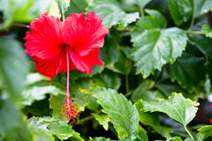 Hibiscus With Green Background Stock Image