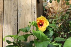 Yellow hibiscus by wooden fence. Hibiscus growing in garden. Fence and leaves in the background. Filtered sunlight royalty free stock photography