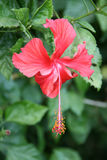 A hibiscus is growing in a public garden in New Delhi (India) Stock Photography