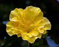 Hibiscus Gul Laluna double yellow flower Royalty Free Stock Photography