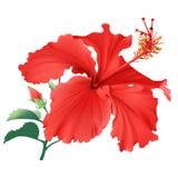 Hibiscus. Royalty Free Stock Image