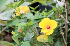 Hibiscus havaiano Imagem de Stock