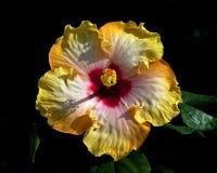 Hibiscus ` Hawaii Surf ` Stock Image