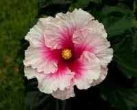 Hibiscus Hawaiirose Rosa Adonicus royalty-vrije stock afbeeldingen