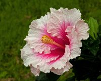 Hibiscus Hawaiirose Rosa Adonicus stock afbeelding