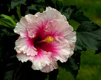 Hibiscus Hawaiirose Rosa Adonicus. Hibiscus is a national flower of Malaysia Stock Photos