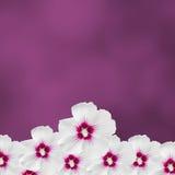 Τα άσπρα hibiscus λουλούδια, Hibiscus Rosa-sinensis, hibiscus κινέζικα, γνωστά όπως αυξήθηκε mallow, μωβ υπόβαθρο σύστασης, κλείν Στοκ Φωτογραφίες