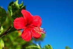 Hibiscus-Hibiscus sp. Royalty Free Stock Photos