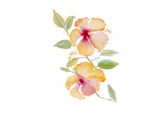Hibiscus illustration watercolor vector background Stock Image