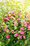 Hibiscus im Garten Stockfotografie