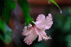 Hibiscus im Tau stockbild