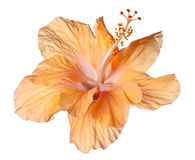 Hibiscus isolated Stock Photos