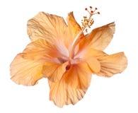 Hibiscus isolated Stock Photos