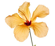 Hibiscus isolated Royalty Free Stock Images