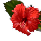 Hibiscus isolated Stock Photo