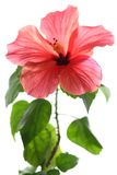 Hibiscus isolated on white backgr Stock Photos