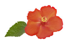 Hibiscus isolated on white background. Orange hibiscus isolated on white background Royalty Free Stock Images