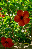 Hibiscus in the jardines, royal garden of the Alcazar de los Rey. The jardines, royal garden of the Alcazar de los Reyes Cristianos, Cordoba, Spain, Europe Royalty Free Stock Photo