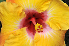 Hibiscus 'Jason' Horizontal Close-Up Stock Photo