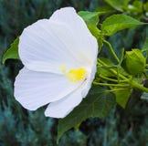 hibiscus Karkade абстрактный вектор иллюстрации hibiscus цветка белый цветок гибискуса на g Стоковое Изображение RF