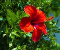 hibiscus Karkade абстрактный вектор иллюстрации hibiscus цветка Красный цветок гибискуса на gre Стоковые Изображения RF