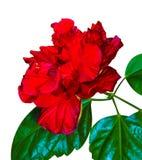 hibiscus Karkade абстрактный вектор иллюстрации hibiscus цветка Цветок гибискуса изолированный дальше Стоковые Изображения